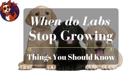when do lab puppies stop growing when do labs stop growing things you should