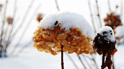 Gartenmöbel Im Winter Draussen Lassen by Hortensien Im K 252 Bel Welche Hortensien K Nnen Sie Im K Bel