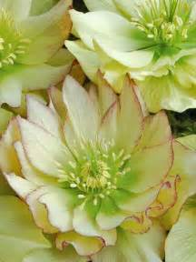 Shaded Lotus 199 Best Hellebores Images On Flowers Plants