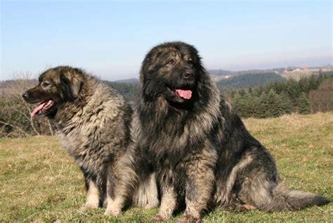 sarplaninac puppies sarplaninac dogable