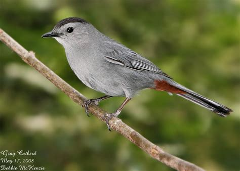 the gray catbird says meow fsu ornithology