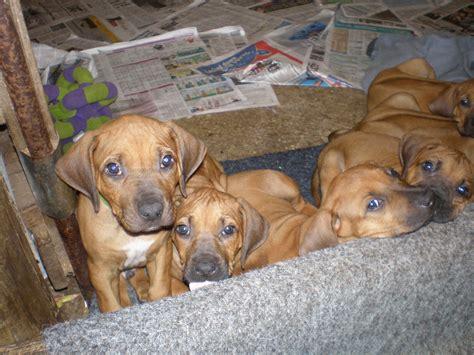 7 week puppy care above puppies at 7 weeks jarracada rhodesian ridgeback kennels