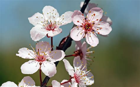 cherry blossom image cherry blossoms wallpaper 71922