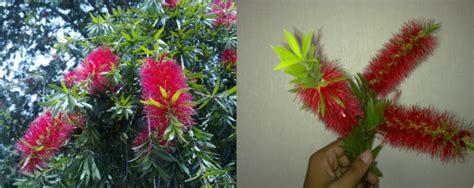 Minyak Kayu Putih Ukuran Sedang foto spesies pohon minyak kayu putih bunga merah oleh