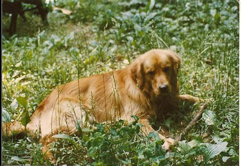 span of golden retrievers lifespan golden retriever 28 images lifespan of a golden retriever