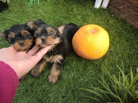 perros yorkie en venta cachorros terrier venta