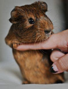 My Pig Won Iv Flickr by Adorable G Pigs Marsvin Bad Och Hj 228 Rta