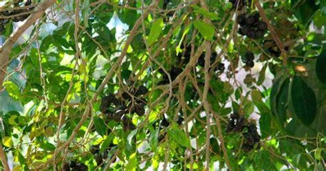 panduan menanam tanaman jengkol