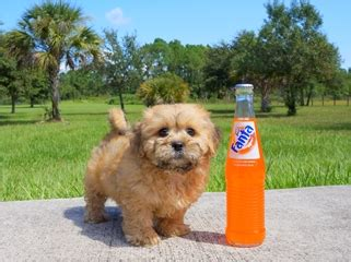 puppies for sale fort myers fl teddy puppies for sale in florida teddy breeder ta south fl
