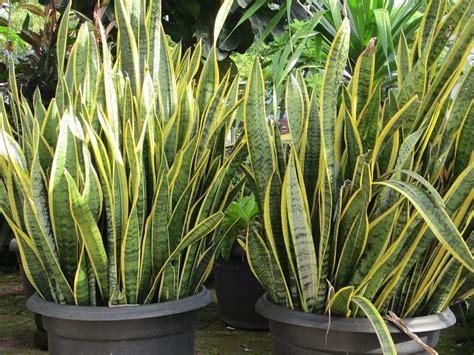 Tanaman Hias Peace Tanaman Pembersih Udara tanaman hias pembersih udara for pc choilieng