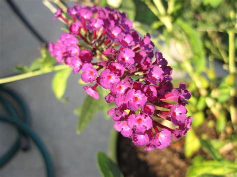 file butterfly bush flower jpg wikimedia commons