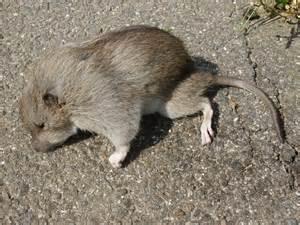 Dead Mouse File Dead Mouse Jpg