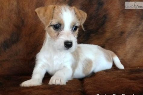 shorty puppies for sale meet chance a terrier puppy for sale for 400 chance shorty