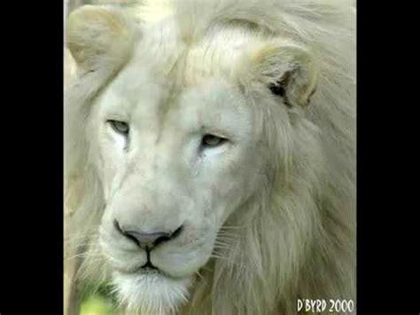 white lion film youtube el leon blanco en peligro de extincion youtube