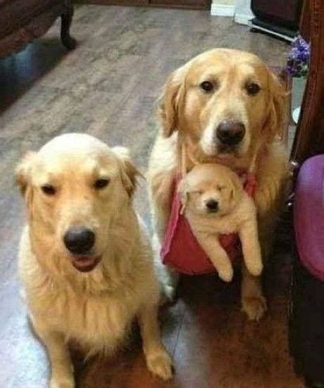 are golden retrievers family dogs golden retriever family pups n stuff
