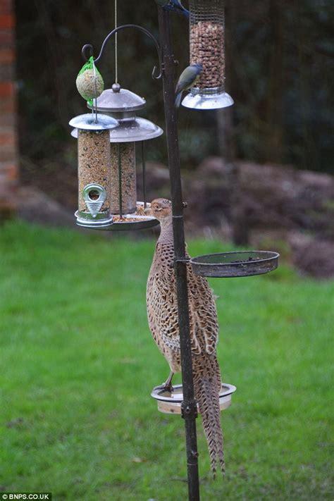 Bird Feeder Garden Pheasants Pictured Feasting At Feeder For Common Garden