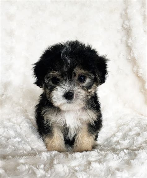 morkie puppies for sale in california buy teacup morkie puppy california breeder quot prince quot iheartteacups