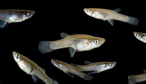 Peluang Usaha Budidaya Ikan Kembung peluang usaha budidaya ikan impun dan analisa usahanya agrowindo