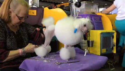 how do dogs show how do you prep a poodle for a show orlando sentinel