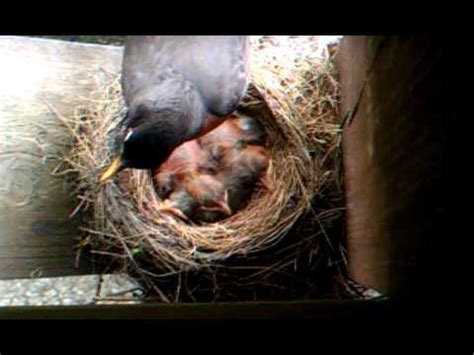 mama bird taking care of baby birds youtube