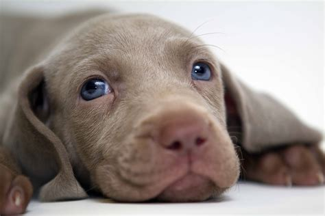 puppy all weimaraner all big breeds