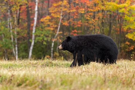 the black of pennsylvania ursus americanus classic reprint books wakes up to crunching sound after being bit by a