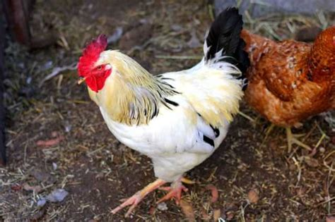 backyard chickens sydney chicken coops houses for sale sydney coops and cages