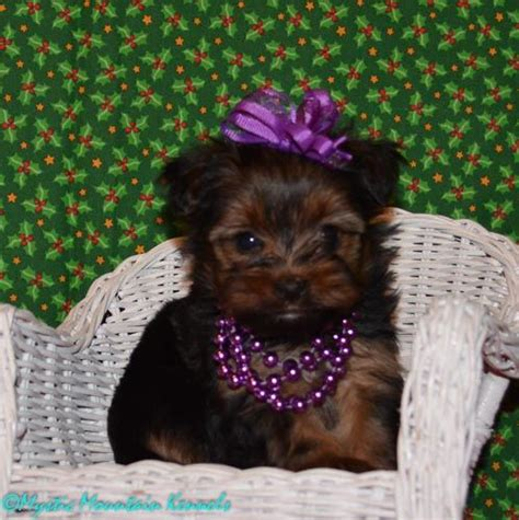 teacup yorkie tennessee puppies for sale teacup tiny yorkies imperial shih tzu tennessee puppies