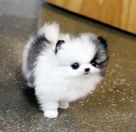 where do pomeranians live 25 best ideas about puppies on baby