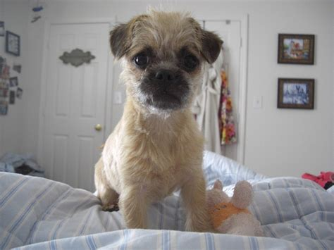 pug poodle mix pugapoo pug poodle mix info temperament puppies pictures