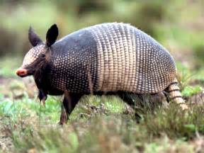 Armadillo wallpapers animals library