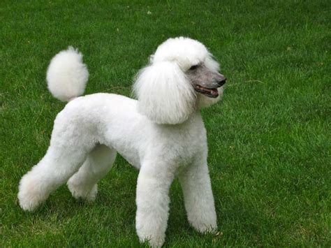 types of cuts for poodles goldendoodle haircuts that will make you swoon