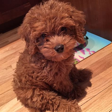 teddy puppies teddy or puppy aww pinteres