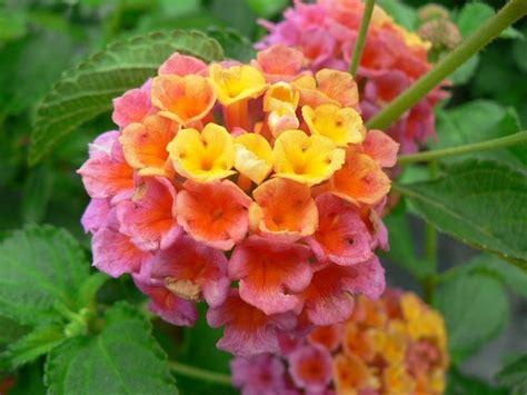 fiori per terrazzo al sole i fiori resistenti al sole piante da terrazzo fiori