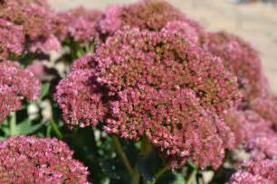 flowers that bloom in fall fall flowering perennials add needed color to your landscape