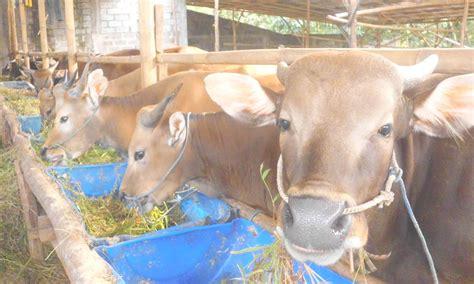 Jual Bibit Sapi Ternak uncategorized safari ternak jual hewan qurban sapi