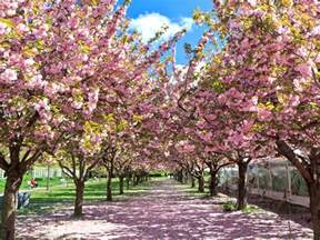 blossom cherry picture 10 places to see cherry blossoms in the u s besides d c
