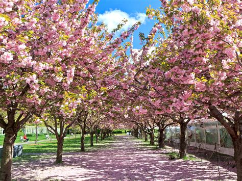 cherry blossoms images 10 places to see cherry blossoms in the u s besides d c