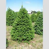 Spruce – Gamm...