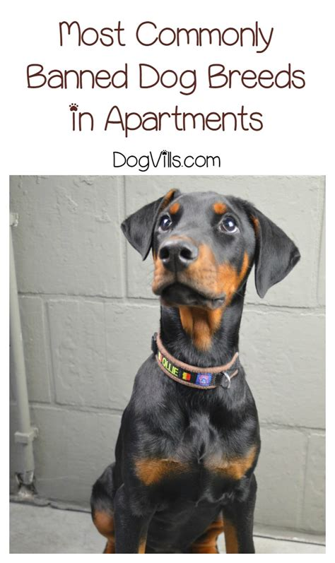 aggressive breeds list for apartments most commonly banned breeds in apartments dogvills