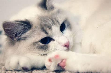 19 A D 布偶猫图片 百度百科