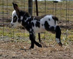 The Mule Barn These Miniature Donkeys Might Possibly Be The Cutest Thing