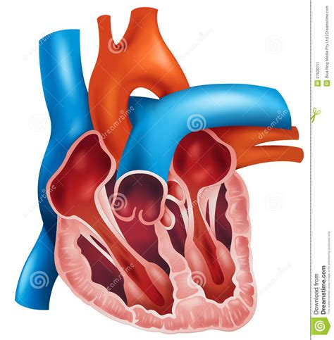 cross section of a heart heart cross section stock image image 27506111