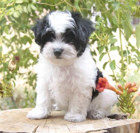 white maltipoo puppies black and white maltipoo stuff i