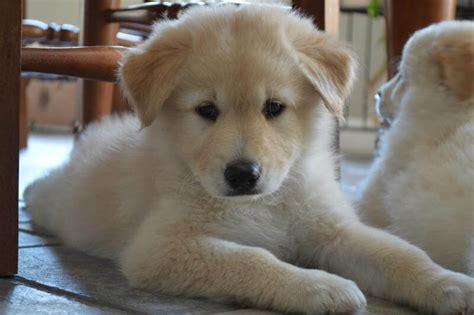 golden retriever hypoallergenic mix golden retriever husky mix goberian puppies
