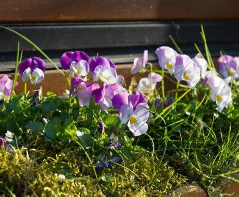 tutto vasi piante da balcone tutto l anno fiori per fioriere vasi e