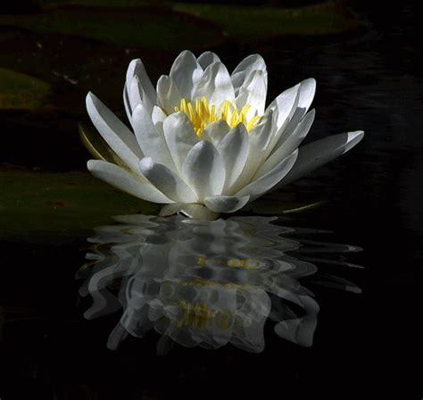 water flower bloom water sparkle lotus flower water water animated by hetorakelt on deviantart
