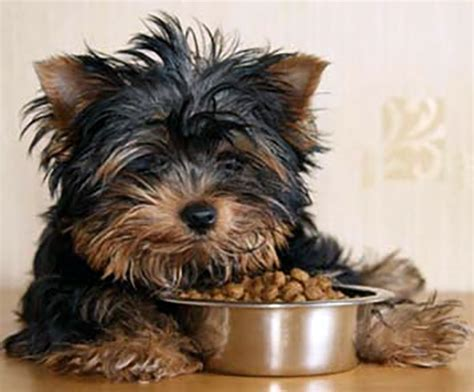how often do you feed a yorkie puppy getting the best yorkie food keeps the one happy