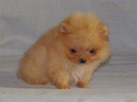pomeranian akc breeders pomeranian for sale by our dogs american kennel club
