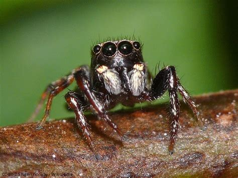 Garden Jumping Spider Poisonous Related Keywords Suggestions For Jumping Spider Anatomy